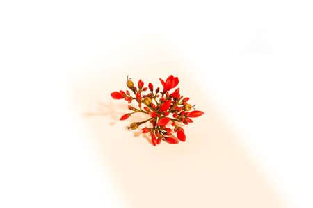 Red little flower isolated over the white background