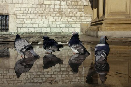 Pigeons in the water