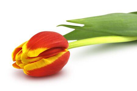 Beautiful, colorful tulip on white photo