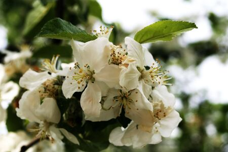 Sunny apple tree in white flower