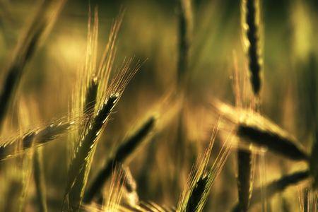 Golden ears of graincorn at the sunshine Stock Photo