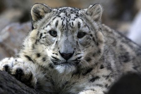 snow leopard: Wild leopard looking at you Stock Photo