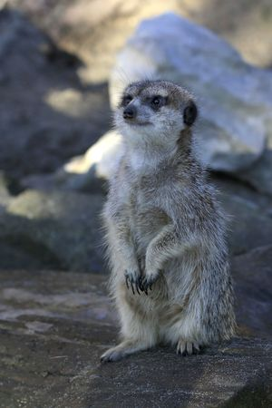 Pensive meerkat with  eyes fixed on future