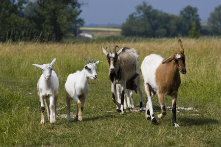 Funny herd of goats walking across the meadow