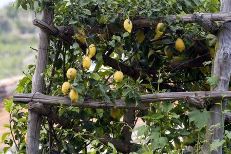 Lemon tree in the middle of rustic, wooden support Stock Photo