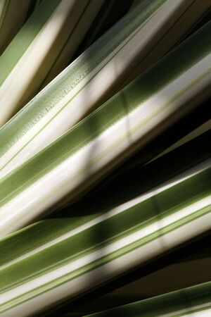Diagonal white and green tropical leaves texture background Stock Photo