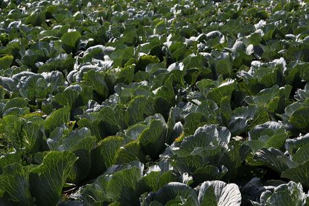 Field of green cabbages Stock Photo