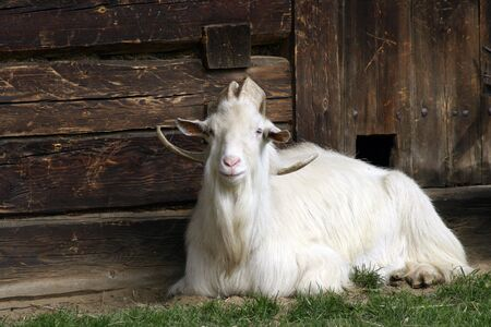 White, old goat watching the wooden