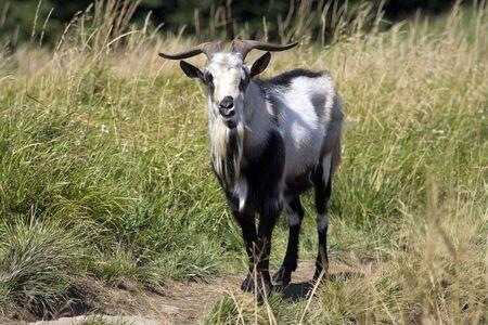 Goat walking through the mountain meadow