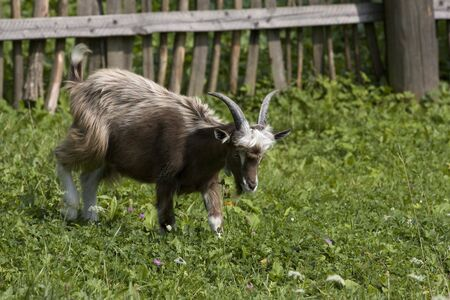 Small, domestic goat eating its breakfast