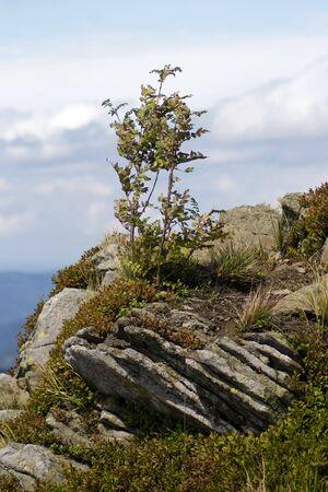 Rowan tree at the edge of the mountain precipice Stock Photo