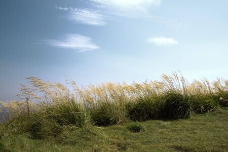 Wavy grass against a background of a blue sky