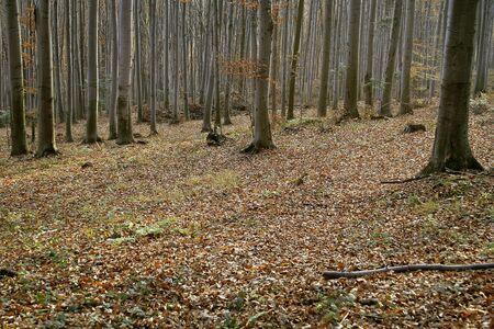 Autumn beech forest full of fallen leaves