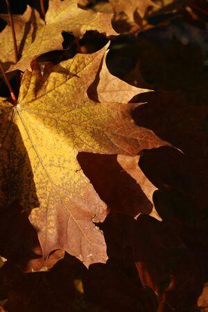 Golden, autumn, maple leaves in sunset light
