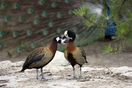 Ducks in  kissing each other, standing on the rock