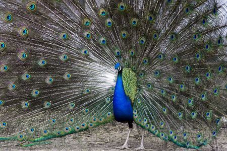 Colorful, beautiful peacock during ritual, mating dance Stock Photo - 3531905