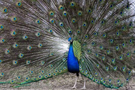 Colorful, beautiful peacock during ritual, mating dance Stock Photo - 3531905