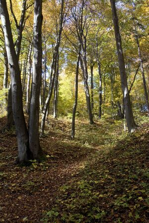 In the autumn, sunny, beech, colorful forest