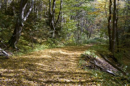 Sunny road in the autumn, beech forest Stock Photo