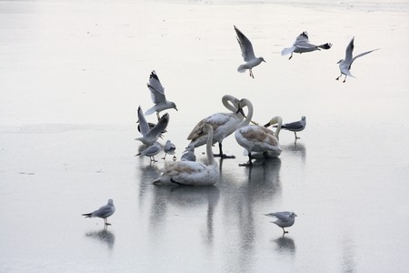 Swans on the frozen lake, surrounded by flying gulls