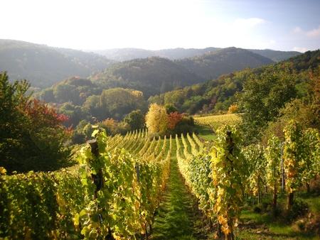가을의 포도밭 스톡 콘텐츠