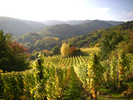 alsace: Vineyards in the Autumn