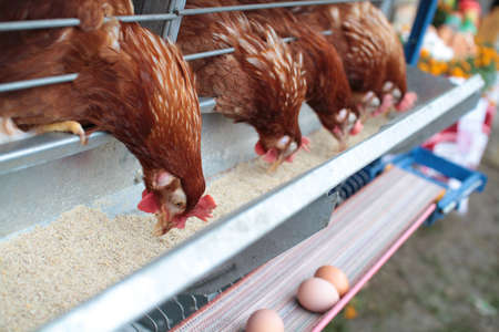 Chicken husbandry for eggs photo