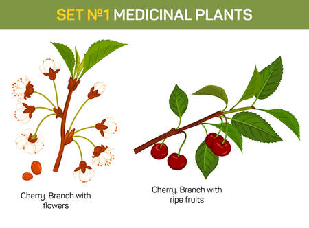 remedial: Medicinal or medical plant - branch of cherry blossom. Healing fruit with flowers and stem with leaves, remedial foliage flora. Can be used for medicine book or schoolbook, botany illustration Illustration