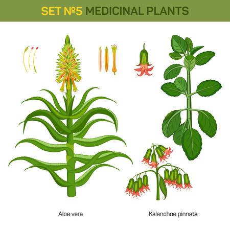 aloe stem: Aloe vera and kalanchoe pinnata medical plants. Bryophyllum pinnatum or air or life plant, cathedral bells with flowers and branch of miracle leaf, healing stem of goethe plant. Remedial flora