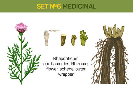 curative: Medicinal flower of Rhaponticum carthamoides or maral root. Detailed parts of healing or herbal plant like rhizome and flower, achene and outer wrapper. For medicine book or herb illustration