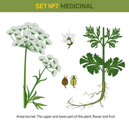 curative: Anise or aniseed burnet flowering medicinal plant. Detailed illustration of upper and lower part of floral bouquet and flower, fruit of fennel or licorice. Plant for making essential oil and anethole