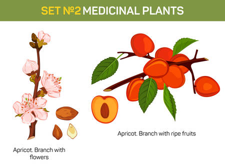 Apricot branch with flowers and ripe fruits cross-section. Medicinal plant with kernel. Bloom on tree twig. May be used for schoolbook or medical textbook, cultivation book and botany illustration