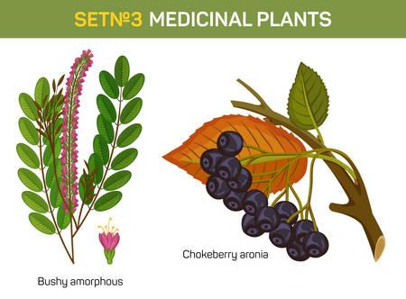 aronia: Aronia melanocarpa or arbutifolia, prunifolia or chokeberry branch with stem and leaf, bushy amorphous. Red or black, purple berries. Medicinal or medical berry. Herbal plants