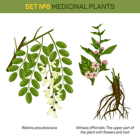roots: Herbal robinia pseudoacacia or black locust branch of tree with leaves in blossom and althaea officinalis or marshmallow medical plant top part with flowers and bottom part with roots