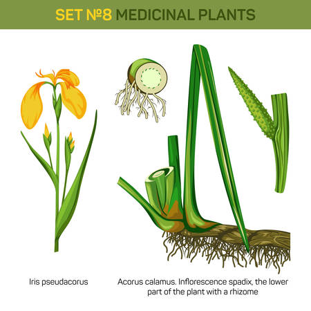 spadix: Medical iris pseudacorus or yellow and water flag, lever and bottom part or roots, rhizome of inflorescence spadix or spadices with flowers borne on fleshy stem, acorus calamus or sweet flag Illustration