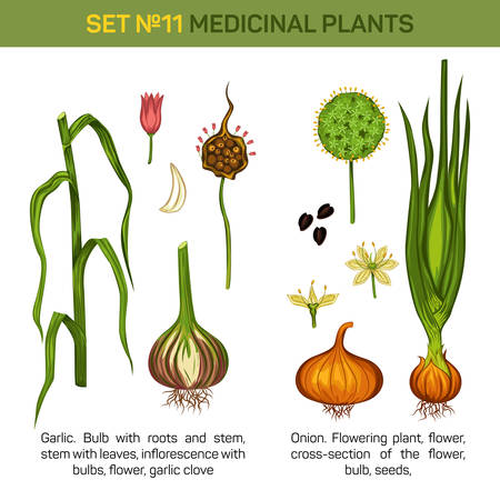 an inflorescence: Italian garlic and onion or shallot, leek or chive, rakkyo stems and flowers, inflorescence with bulbs and leaves, medicine foliage flora. May be used for herbal or medical botany floral book