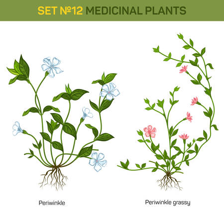an inflorescence: Blossom of herbal periwinkle with branch and flowers, inflorescence on stem and leaves on twig. Decorative garden bush. Good for usage in botany floral books, medicine and healthcare themes