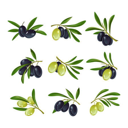 bleak: Set of green, yellow and raw, black and ripe olive branches with leaves on stem.
