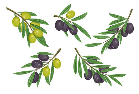 bleak: Agriculture olive branch with ripe and raw berries with bleaks. Fruit food on tem logo or organic eat badge. May be used for herbal or vegan market banner, liquid ingredient or natural vitamin theme