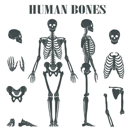 didactic: Human skeleton with different parts. Anatomy of human body, wrist and thorax, chest, finger and skull, jaw and pelvis. May be used for skeleton didactic or anatomical body, biology skeleton Illustration