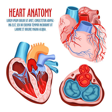 Anatomy of heart, human coronary organ with atrium and aorta, vein and artery for blood pulsation. Medical education and anatomical science poster, biological and surgery, health care and blood theme Illustration