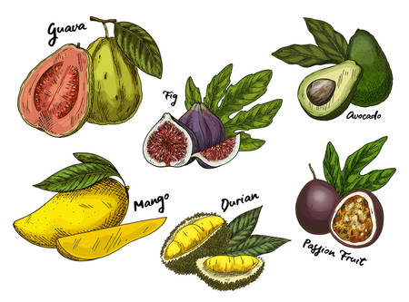 Fig and guava, avocado and mango,maracuya sketches