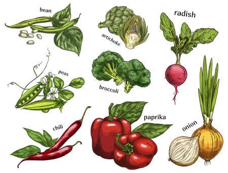 Sketch of artichoke and chilli pepper, peas, beans