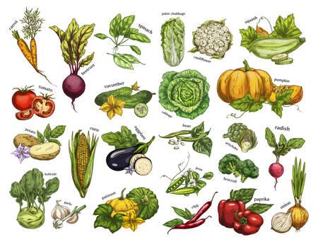 Isolated set vegetables harvest for vegan market 向量圖像