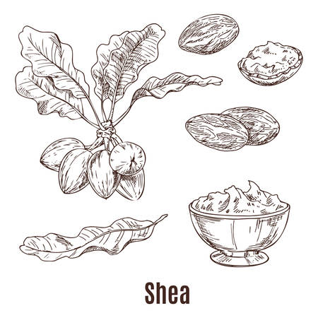 Sketches of shea nuts and butter in bowl or cup