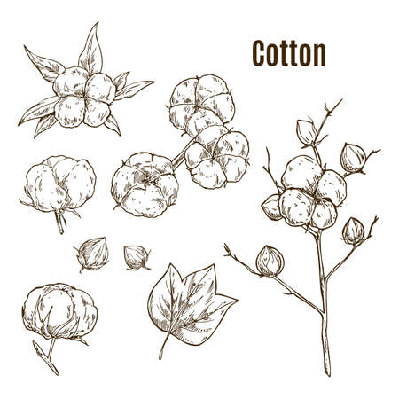 Set of isolated sketches of cotton bolls, branch 免版税图像