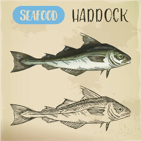 Sketch of haddock fish. Underwater wildlife or seafood