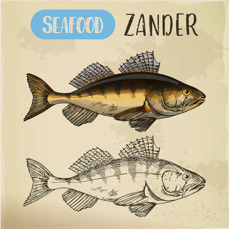 Zander or pike-perch sketch for menu