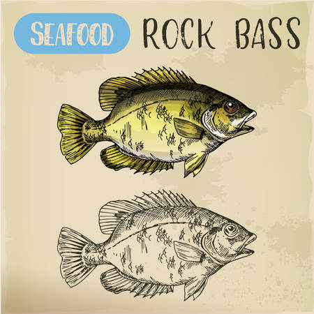 Rock bass or goggle-eye perch sketch