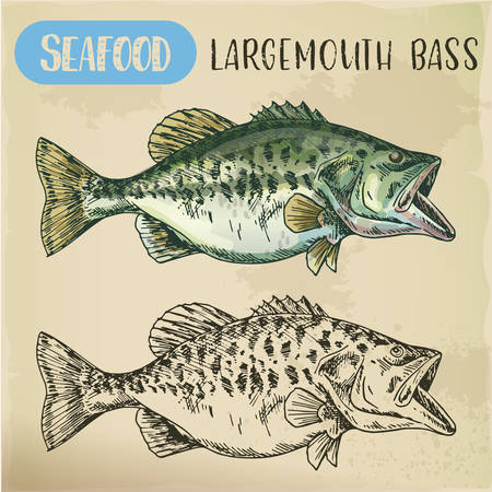 Hand drawn largemouth bass or gamefish